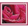 Amarantowa różyczka